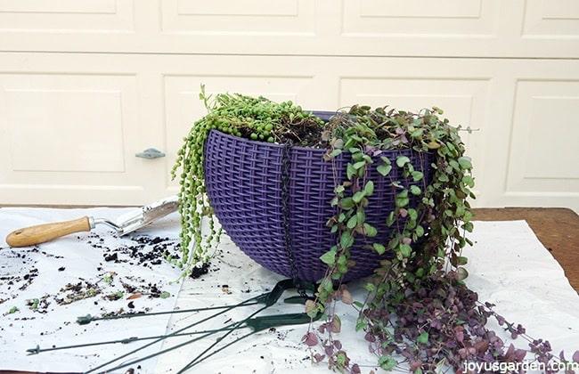 Basket of hanging succulents