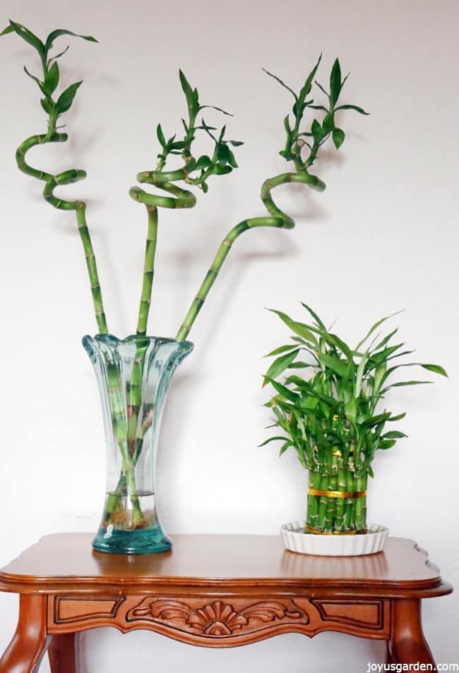 3 Twisted Stalks Of Lucky Bamboo An Arrangement Sit On A Table