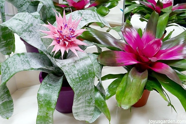 an aechmea bromelaid plant with a large pink flower & a guzmania bromeliad plant sit side by side