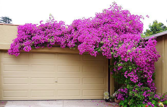 winter-pruning-training-bougainvillea