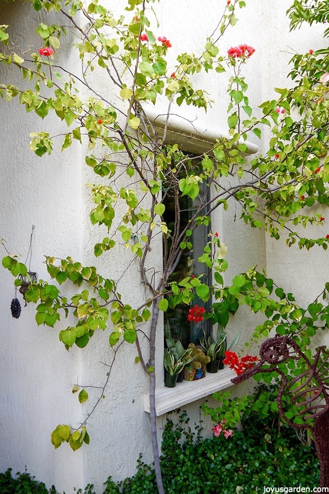winter-pruning-training-bougainvillea