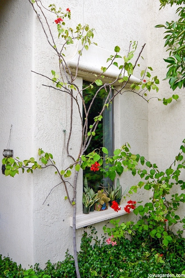 bougainvillea growing up side of wall