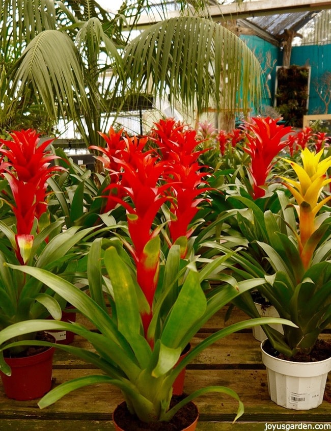 Guzmania plant care tips the bromeliad with the vibrant star shaped bright orange yellow guzmania bromeliad plants sit on a table in a nursery mightylinksfo