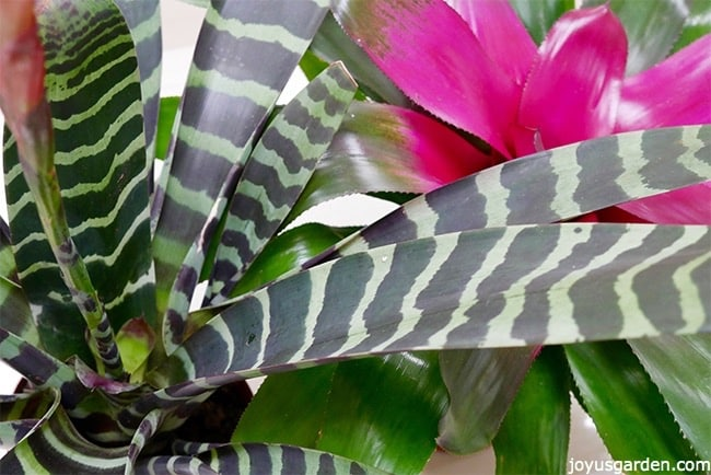 close up of vriesea & neoregelia bromeliads