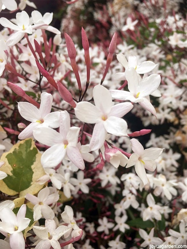 How To Grow Pink Jasmine Vine, Jasminum polyanthum - |