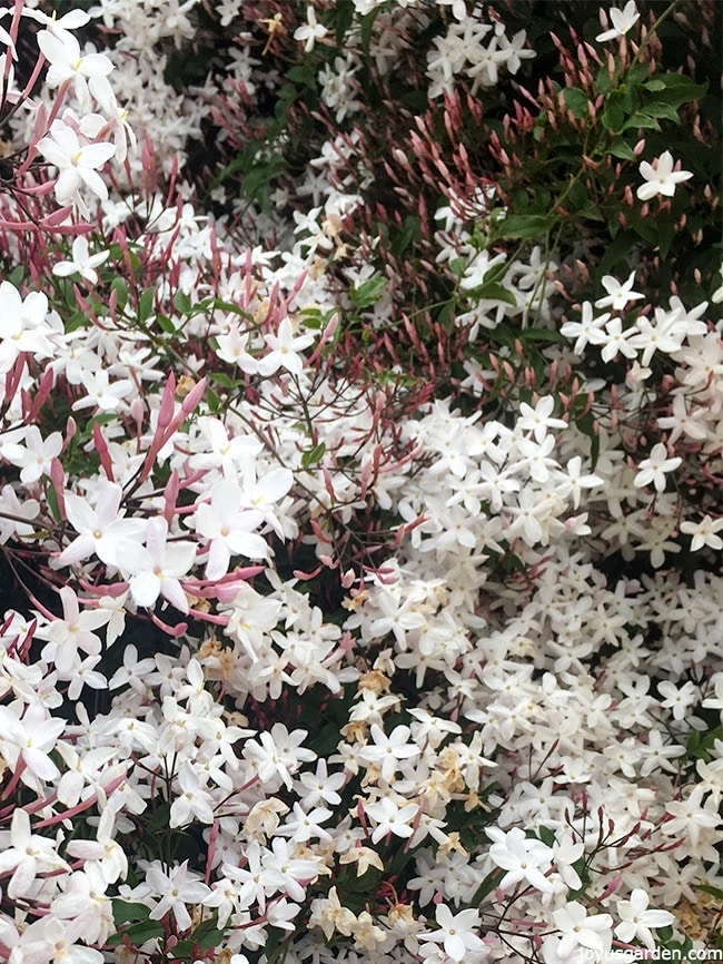 Grow Pink Jasmine Vine for endless blooms