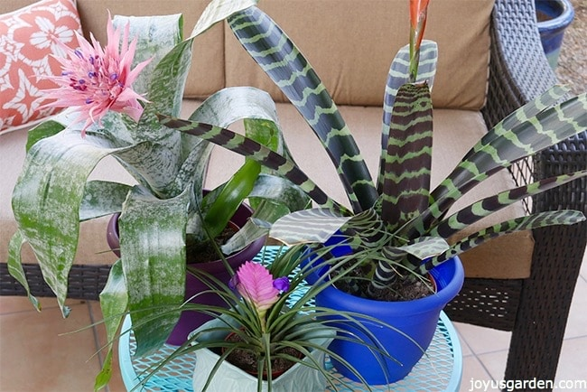 an aechmea pink quill plant & vriesea bromeliads sit on a patio table