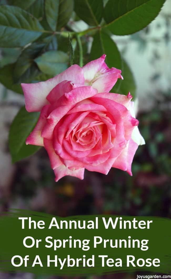 Hybrid Tea Rose: Annual Winter or Spring Pruning