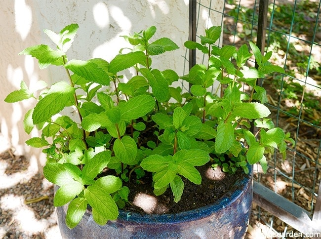 How To Prune and Feed Mint Plants - Joy Us Garden
