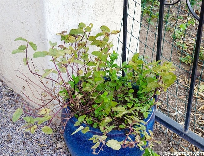 how-to-prune-feed-mint-in-pots-to-promote-growth