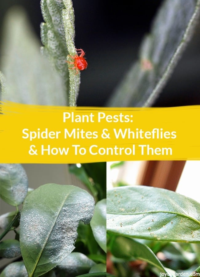 a collage which includes a spider mite crawling on a leaf & 2 leaves with whiteflies the text reads Plant Pests: Spider Mites & Whiteflies & How To Control Them