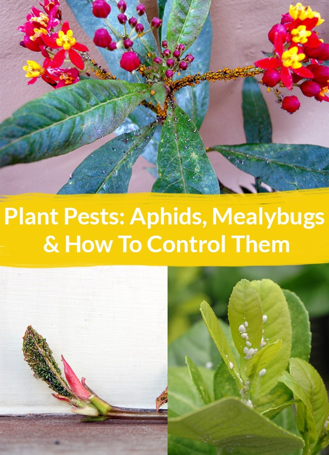 a collage with 3 different plants infested with aphids the text reads Plant Pests: Aphids, Mealybugs & How To Control Them.