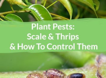 Scale & Thrips & How To Control Them