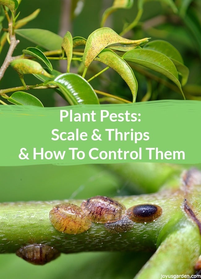 2 pictures of plants 1 with scale & 1 with thrips the text in the middle reads Scale & Thrips & How To Control Them