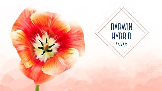 tulip-type-darwin-hybrid-tulip