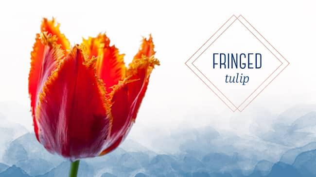 tulip type fringed tulip