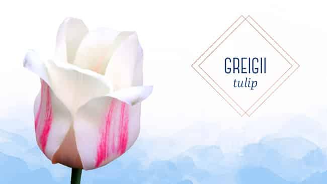Types of Tulips greigii tulip