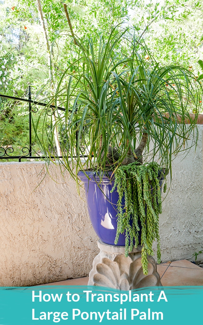 How To Transplant A Large Ponytail Palm