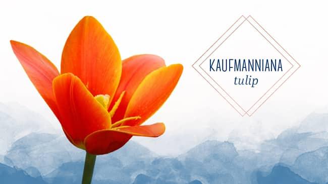 types of tulips kaufmanniana