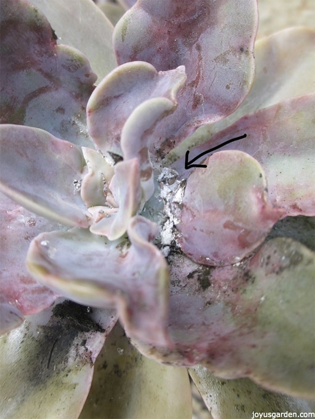 mealybugs in the nodes of a succulent