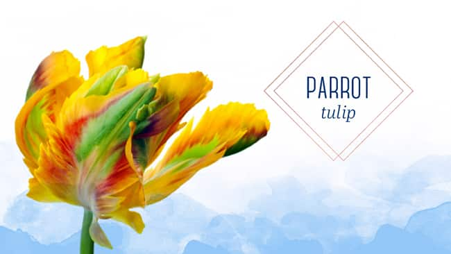 Types of tulips parrot tulip