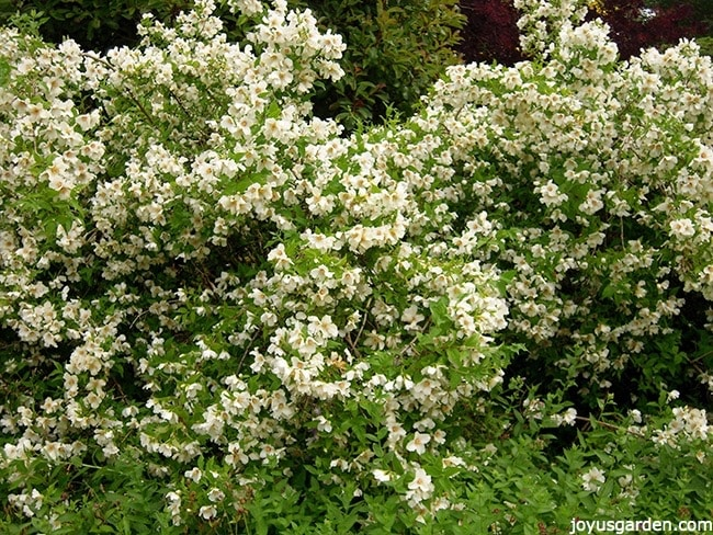 a shrub covered in white flowers this is a philadelphus