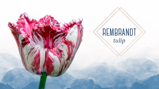 A tulip that looks like a painting the rembrandt Tulip