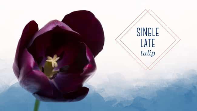 tulip types single early tulip