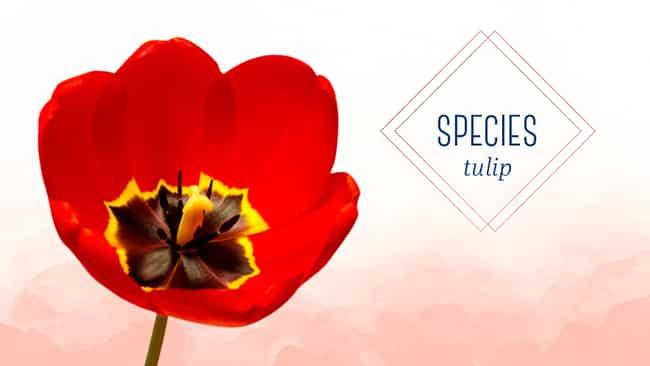 Types of tulips: The classic species tulip