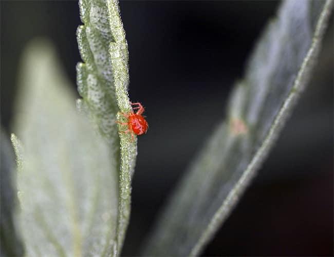Plant Pests: Spider Mites & Whiteflies