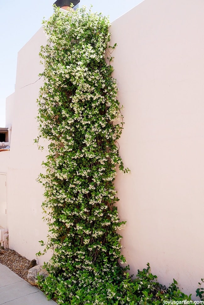 Star Jasmine In Full Flower Trained To Go Up A Wall There Is Ground