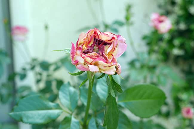 picture of a rose with flower thrips damage