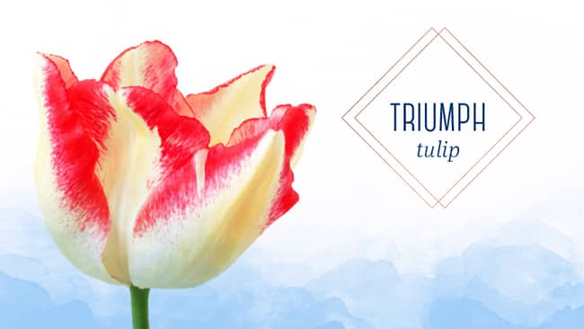 The gorgeous triumph tulip in full bloom types of tulips