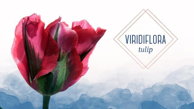 gorgeous viridiflora tulip