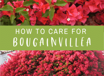 "a collage with two pictures of pinkish red bougainvillea in full bloom, the text reads ""How To Care For Bougainvillea"" and ""joyusgarden.com"""