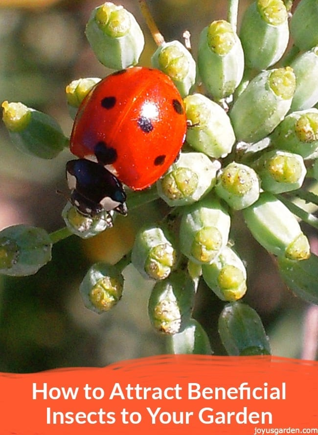 close up of a red ladybug on a fennel plant the text reads How to Attract Beneficial Insects to Your Garden