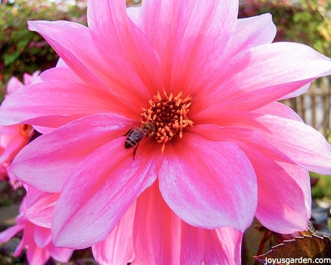 close up of a pink dahlia flower with a bee in the center