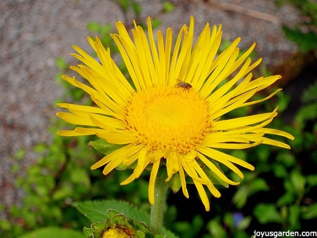 close up of a yellow daisy flowers with an insect on it