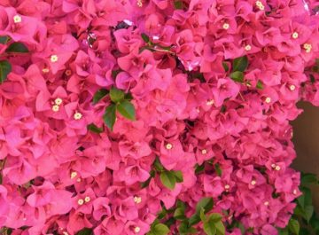 care growing tips bougainvillea