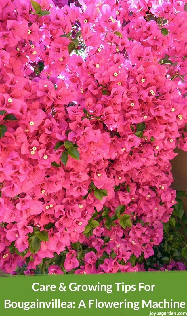 close up of rose pink bougainvillea in full bloom. the text reads care & growing tips for bougainvillea: a flowering machine