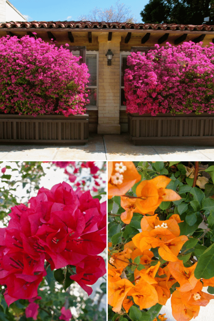 a collage of three different bougainvillea in full bloom, one is orange, one is pink, and one is red
