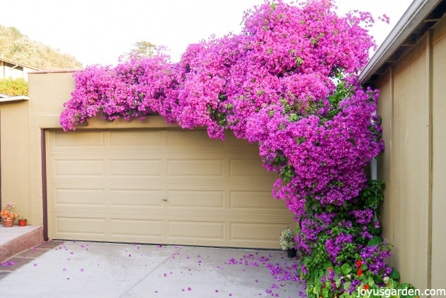 A large deep pink bougainvillea glabra in full bloom grows up & across a gold garage