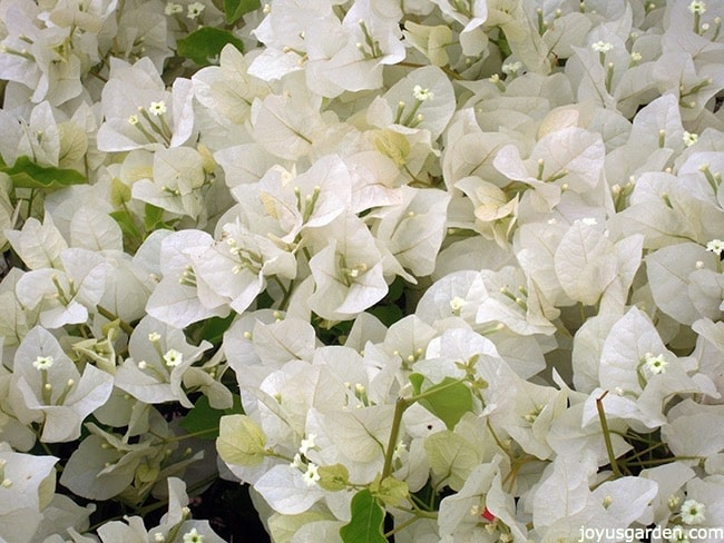 close up of white bougainvillea mary palmer's enchantment in full bloom