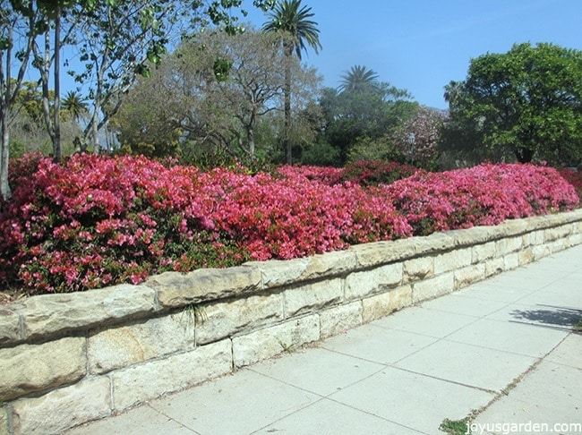A long hedge of pink bougainvillea in full bloom growing along a sidewalk