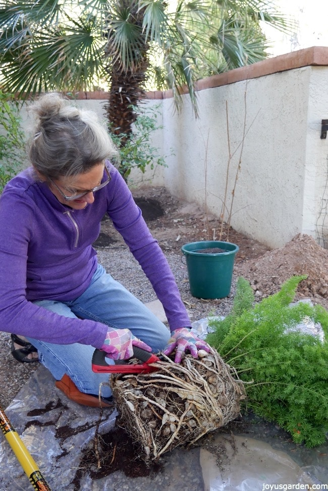 Dividing And Planting A Foxtail Fern