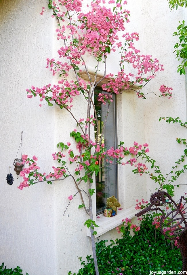 A tall, pale pink bougainvillea grows against a white house