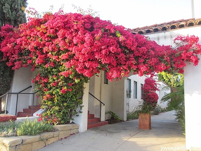 A large pink bougainvillea in full bloom grows up & over a doorway