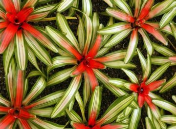 an aerial view of neorigilias bromeliads lined up at the nursery below a graphic reads How to Remove & Pot Up Bromeliad Pups