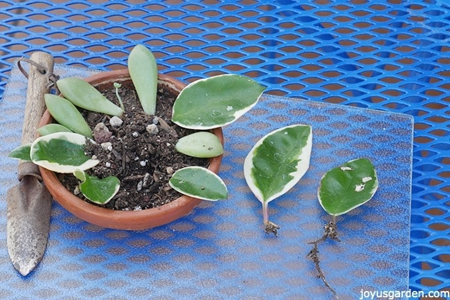 hoya leaves along with succulent leaves are being propagated in a small terra cotta saucer 2 hoya leaves with roots & a small trowel sit on either side