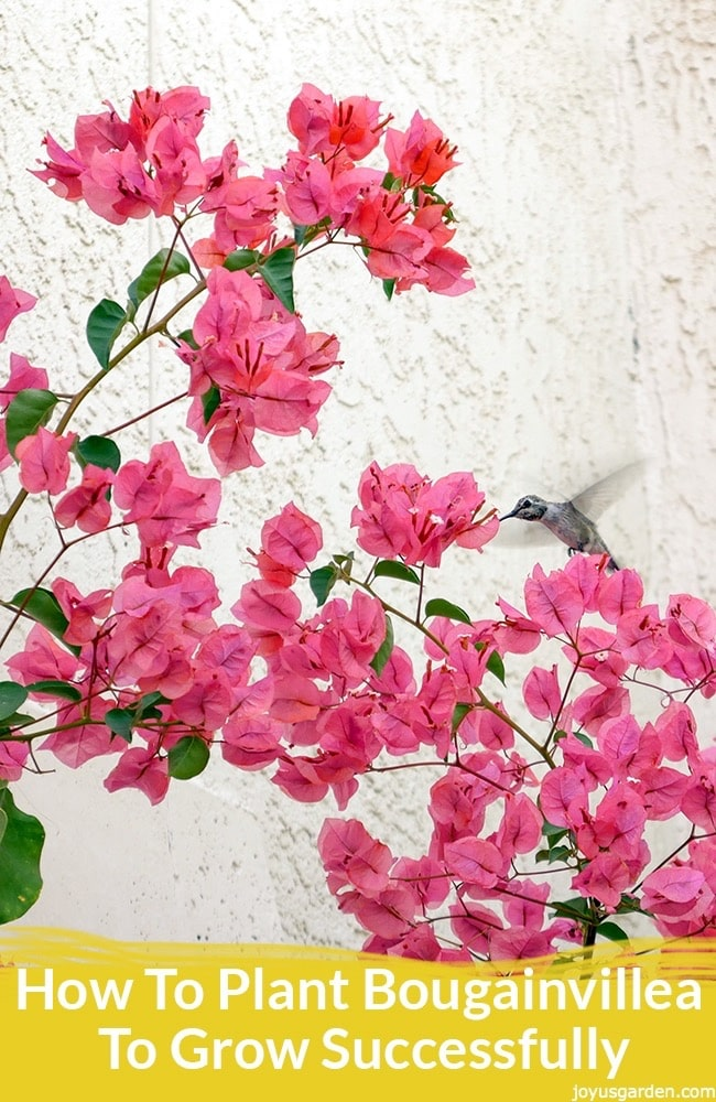 a hummingbird feeds off a pink bougainvillea in full bloom against a white wall. the text reads how to plant bougainvillea to grow successfully: the most important thing to know